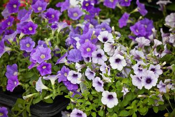 Violet Petunia Flowers seedlings