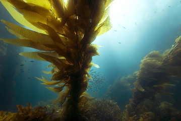 Underwater Sunrise at California Kelp Forest