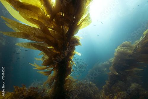 Papiers peints Recifs coralliens Underwater Sunrise at California Kelp Forest