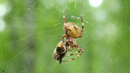 spider eats its prey - macro shot