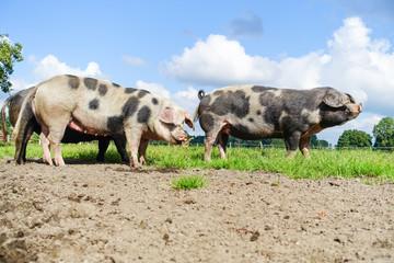 Bunte Bentheimer Schweine auf der Weide