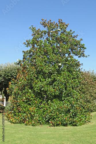 Deurstickers Magnolia Magnolia grandiflora