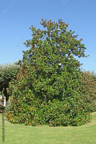 Plexiglas Magnolia Magnolia grandiflora