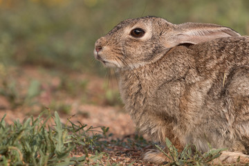 Cottontail Rabbit Portrait