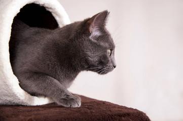 Graue Katze schaut aus Spieltunnel