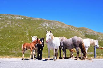wild horses in the mountains of laga, Abruzzo, Italy