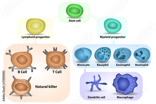 White Blood cell formation - 70100483