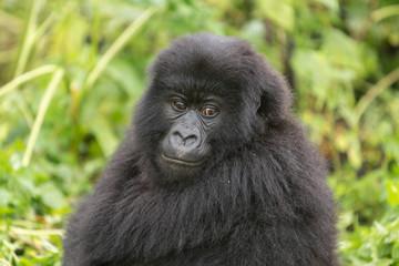 Vulcanoes NP: 2. Gorilla Trekking