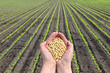 Soy bean concept, hands with soy bean crop and field