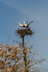 Pair of Storks in the nest