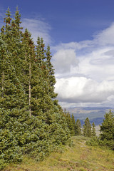 Spruce trees in the mountains with blue sky