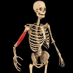 Humerus muscle