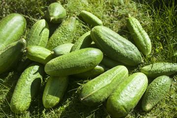 Cucumbers on grass