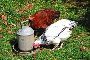 Light Sussex Bantam chickens © Arena Photo UKI