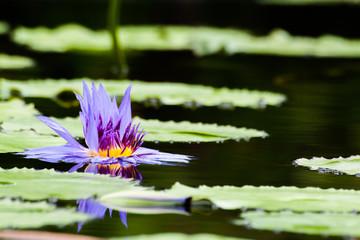 A wilt purple lotus or waterlily flower in pond