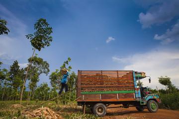 cassava-up truck Harvesting