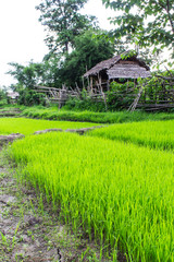 Rice field with cottage in Thailand
