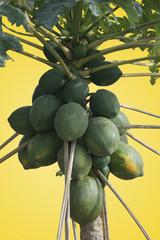 Isolated Papaya Tree