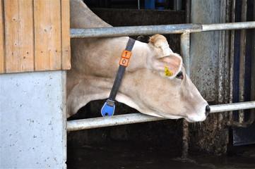 Kuh guckt aus Stall