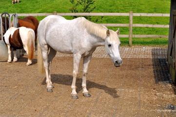 Schimmel -weisses Pferd