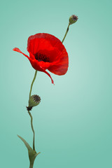 Poppy Isolated
