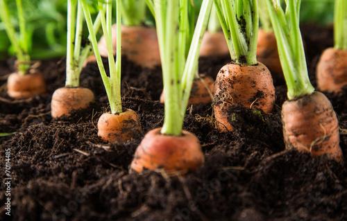 Leinwanddruck Bild carrots in the garden