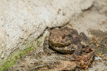 Toad sitting on the ground next to a concrete wall