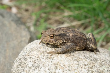 Toad sitting on a stone or rock