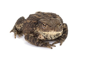 Close up photo of a common toad on white background