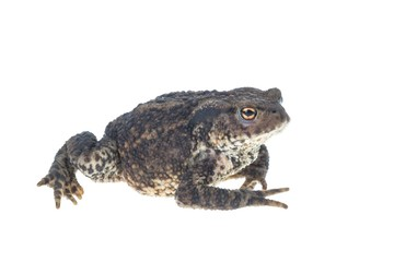 Walking common toad on white background