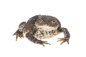 Close up photo of a toad looking on white background