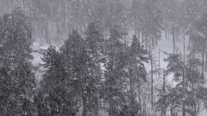 Snowfall in the spruce forest in winter.