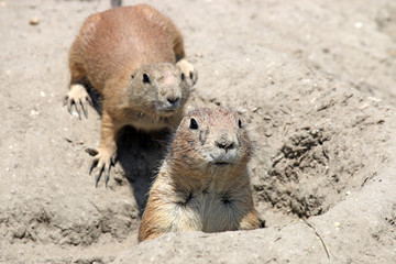 two prairie dogs watching from hole