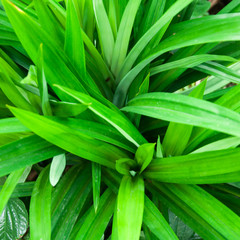 The scent of pandanus leaves develops only on withering; the fre