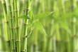 Leinwanddruck Bild - bamboo