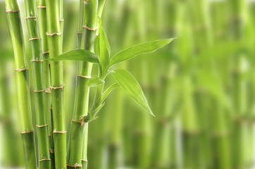 bamboo © oly5