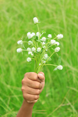 Hand holds white globe amaranth