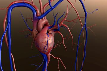heart, Human heart model