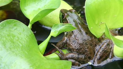 A Green Frog, Lithobates clamitans, sits on a lily pad
