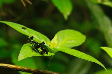 Erianthus serratus