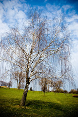 Weeping willow bare