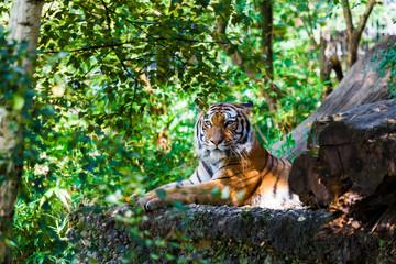 Tiger.  Beautiful Tiger Portrait