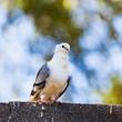 pigeon. dove