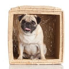 pug dog in  box isolated on white background.