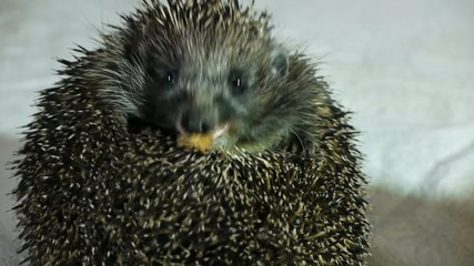 Stock Video Footage Hedgehog eating meat