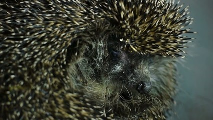 Stock Video Footage Hedgehog macro 2