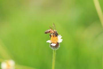 Bee on grass flower