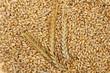 Barley grains and ears - 70129041