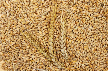 Barley grains and ears