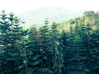 Cedar trees forest in Chang hill, Chiang Rai, Thailand: Filtered